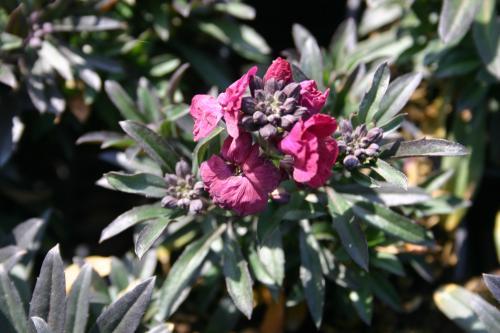 Erysimum linifolium 'Red Jep'