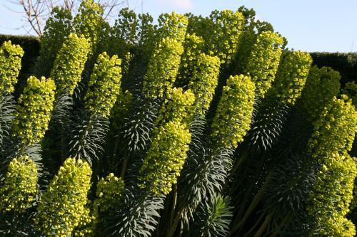 Euphorbia characias 'Shorty'
