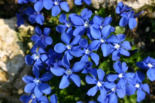 Gentiana verna 'Purpurea'