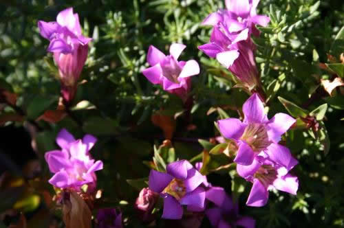 Gentiana 'Little Diamond'