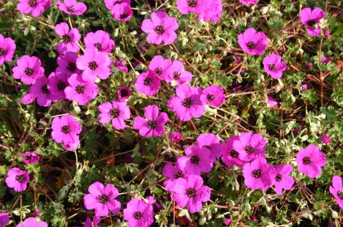 Geranium cinerium 'Giuseppii'