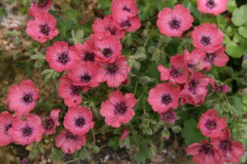 Geranium 'Jolly Jewel 'Raspberry' ?