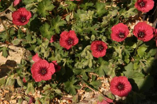 Geranium 'Jolly Jewel Red'