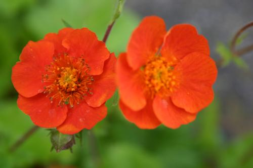Geum 'Flames of Passion' ?