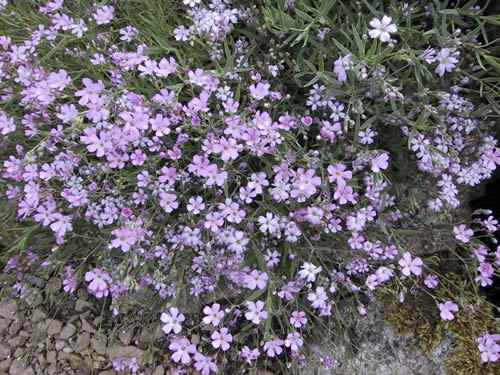 Gypsophila rep Filou Rose'