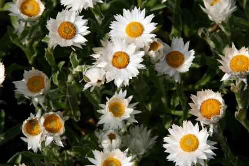 Helichrysum marginatum