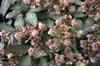 Helleborus 'Magic Leaves'