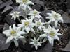 Leontopodium alpinum 'Everest'