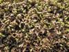 Leptinella potentillina 'Platts Black'