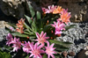 Lewisia hybr. ''Little Plum''