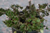 Lonicera crassifolia 'Little Honey'