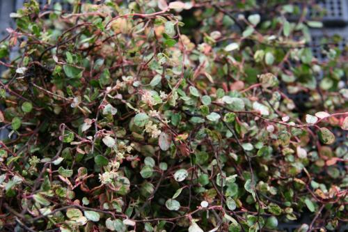 Muehlenbeckia axillaris 'Tricolor'