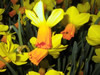Narcissus cyclam. 'Jetfire'