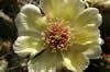 Opuntia fragilis var brachyarthra
