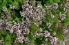 Origanum speciosum 'Nanum'