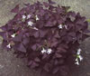 Oxalis triangularis 'Myke' (R)