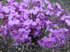Phlox 'Mac Daniels Cushion'