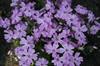 Phlox sub. 'Purple Beauty'