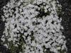 Phlox  douglassii 'White Delight'