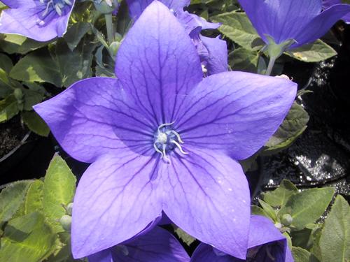 Platycodon grandifloris 'Astra Blue'
