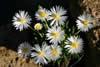 Bergeranthus jamesii 'albiflora'