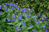 Pulmonaria angust. 'Bue Ensign'