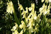 Roscoea cautleoides 'Jeffrey Thomas'