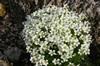 Saxifraga arendsii 'Touran Large White'