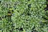 Saxifraga crustata x cuneifolia