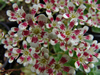 Saxifraga cotyl. 'Southside Red'