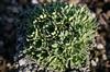 Saxifraga longifolia Hybride