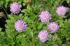Scabiosa japonica 'Pink Diamonds'