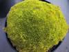 Scleranthus uniflorus 'Olive'