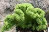 Sedum reflexum f. cristatum