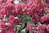 Sedum ?Amby Red?