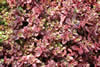 Sedum Sunsparkler ?'Firecracker'