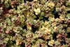 Sedum Sunsparkler � 'Lime Zinger'