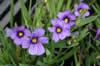 Sisyrinchium ang. 'Devon Skies'