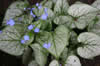 Brunnera macr. 'Looking Glass'