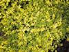 Thymus citr. 'Bertram Anderson'