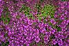 Thymus praecox 'Red Carpet'