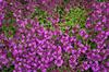 Thymus praecox 'Bressingham'