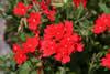 Verbena peruviana Red'