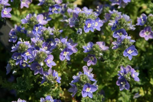 Veronica 'Tide Pool'