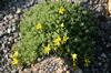 Vitaliana primuliflora praetutiana
