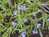 Commelina tuberosa (C. coelestis)