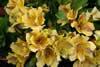 Alstroemeria 'Little Miss Aurea'