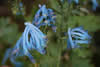 Corydalis 'Rainier Blue'