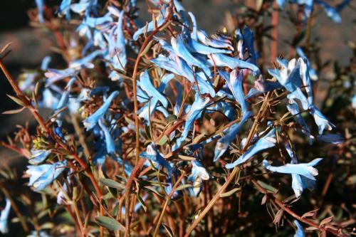 Corydalis flex. 'Porcelain Blue'