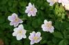 Anemone nemorosa 'Rosea'